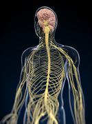 human nervous system, artwork - stock illustration