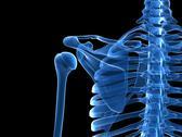Shoulder bones, artwork Stock Illustration