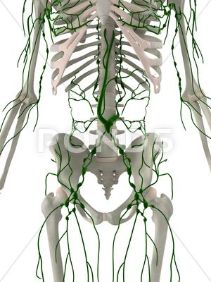 Stock Illustration of lymphatic system, artwork