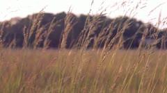 Wheat blowing in field of wind Stock Footage