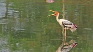 Standing Stork2 Stock Footage