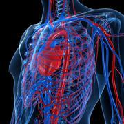cardiovascular system, artwork - stock illustration