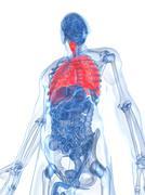 Stock Illustration of human lungs, artwork