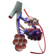 Stock Illustration of human alveoli, artwork