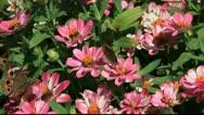 Two buckeye butterflies in the garden Stock Footage