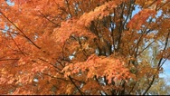 Beautiful fall maple trees Stock Footage