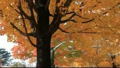 Beautiful autumn maple trees Stock Footage