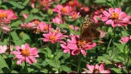 Zinnia garden close up with butterfly Stock Footage