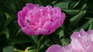 Stock Video Footage of Bee crawling in a beautiful pink peony flower