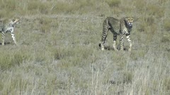 Cheetah family walking - stock footage