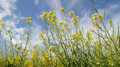 Flower of rapeseed on the blue sky Stock Footage