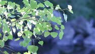 Stock Video Footage of Green Leaves Pull Focus On Waters Edge