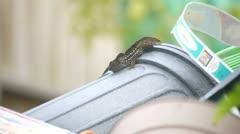 Lizard Territorial Battle - stock footage