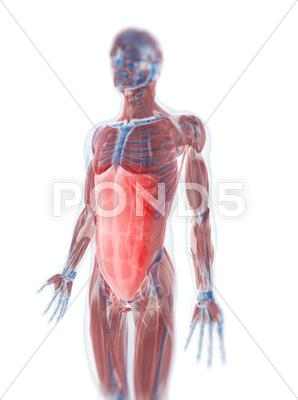 Stock Illustration of rectus abdominis muscle, artwork