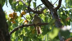 Sleepy House Sparrow bird, Passer domesticus Stock Footage