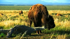 Bison Grand Tetons USA Stock Footage