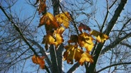 Fall Leaves in Wind (HD) Stock Footage