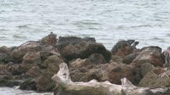 Green Iguanas on rocks - stock footage