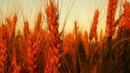 Stock Video Footage of golden wheat in the sunset