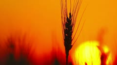 golden wheat in the sunset - stock footage