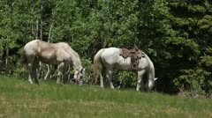 White horses grazing in mountain meadow P HD 0331 Stock Footage