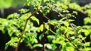 Raspberry foliage shot in spring with shallow depth of field Stock Footage