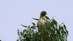 Red Tail Hawk On Tree (HD) Stock Footage