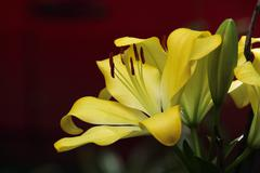 Beautiful Yellow Lilies - stock photo