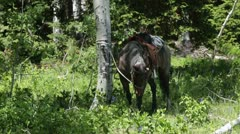 Horse with saddle tied to tree in green forest P HD 0311 Stock Footage
