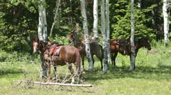 Horses with saddles in green mountain forest P HD 0320 Stock Footage