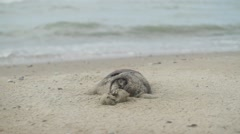 dead seal - stock footage