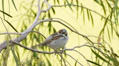 Stock Video Footage of House Male Sparrow Medium Shot (HD)