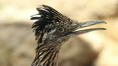 Roadrunner Detail Close Up Stock Footage