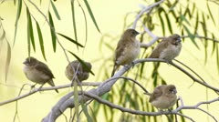 Munia Finch Birds On Branches (HD) Stock Footage