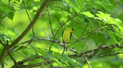 Goldfinch in a tree - stock footage