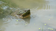 Snapping turtle in a shallow pond Stock Footage
