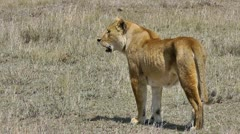 Female lion standing in savannah - stock footage