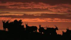 Eland silhouetted at sunrise - stock footage