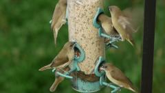Finches Eating From Feeder (HD) Stock Footage