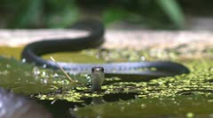 Black Racer Snake (Coluber constrictor) - stock footage