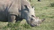 Red-billed oxpecker on rhino's head Stock Footage