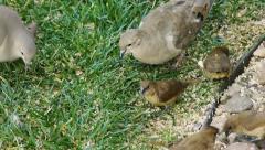 Birds Feeding on Seeds (HD) Stock Footage