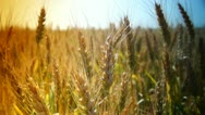 Stock Video Footage of golden wheat in june