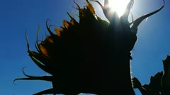 Sunflower in the sun Stock Footage