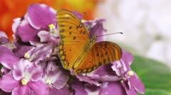 Gulf Fritillary Butterfly (HD) Stock Footage