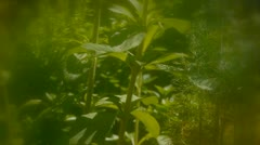 Stevia Plant in Herb Garden Stock Footage