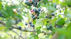 Blueberry tree Stock Footage