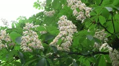 Blooming horse chestnut Stock Footage