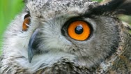 Stock Video Footage of Owl, close-up