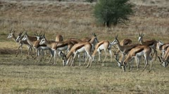 Grazing springbok antelopes, Kalahari desert, South Africa Stock Footage